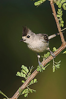 Black-crested Titmouse, Baeolophus atricristatus, adult, Willacy County, Rio Grande Valley, Texas, USA