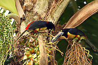 Collared aracaris eating palm nuts