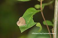 03488-00112 Gemmed Satyr (Cyllopsis gemma) Marion Co. IL