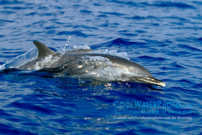 pantropical spotted dolphin wake-riding, Stenella attenuata, off Kona Coast, Big Island, Hawaii, Pacific Ocean.