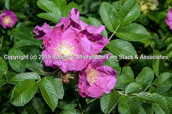 Beach Rose fushia color phase