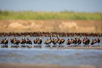 Flock of White-faced Whistling Ducks at Djoudj, north western Senegal