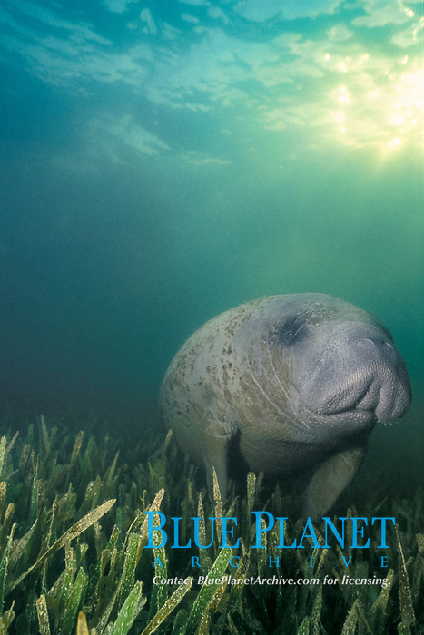 West Indian manatee or Antillean manatee, Trichechus manatus manatus, (sea cow) in seagrass bed, Thalassia testudinum (turtle grass) Belize, Central America (Caribbean)