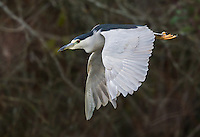 Adult black-crowned night heron in flight at the Reifel Migratory Bird Sanctuary.<br />