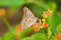 340450001 a wild tawny emperor butterfly asterocampa clyton perches on a flower filled with ants at the naba butterfly center in mission texas