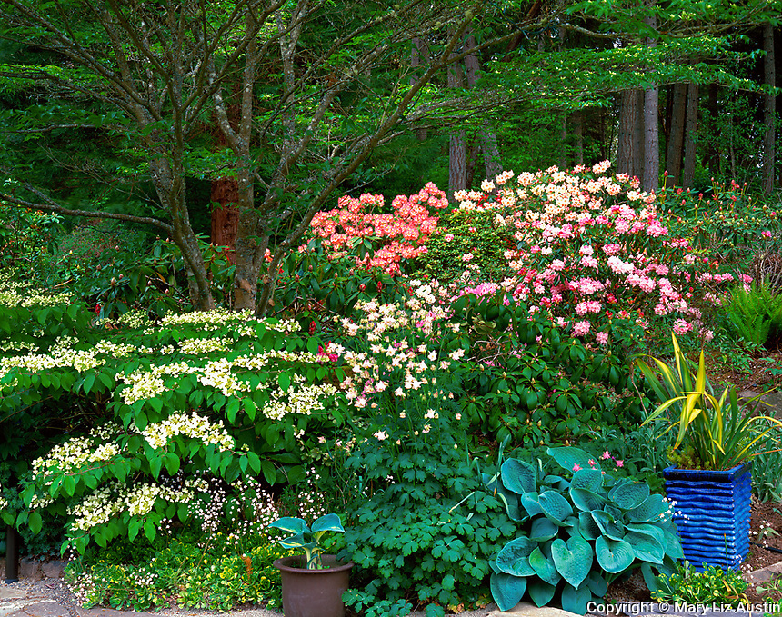 Vashon Island, WA<br /> Flowering viburnum, columbine, and hostas edge a garden bed under a dogwood tree with rhododendrons blooming along the forest edge