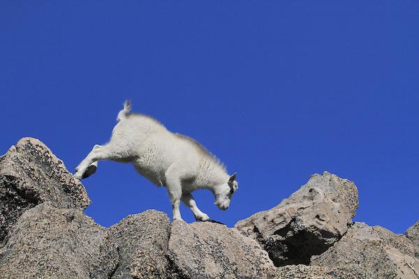 Mountain Goat kid (Oreamnos americanus) balancing on the summit of Mount Evans (14250 feet), Rocky Mountains, west of Denver, Colorado, USA Wildlife  photo tours to Mt Evans. .  John leads private, wildlife photo tours throughout Colorado. Year-round.