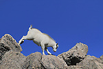 Mountain Goat kid (Oreamnos americanus) balancing on the summit of Mount Evans (14250 feet), Rocky Mountains, west of Denver, Colorado, USA Wildlife  photo tours to Mt Evans. .  John leads private, wildlife photo tours throughout Colorado. Year-round.