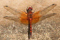 389190002 a wild male red rock skimmer dragonfly paltothemis lineatips perches on a rock on piru creek los angeles county california