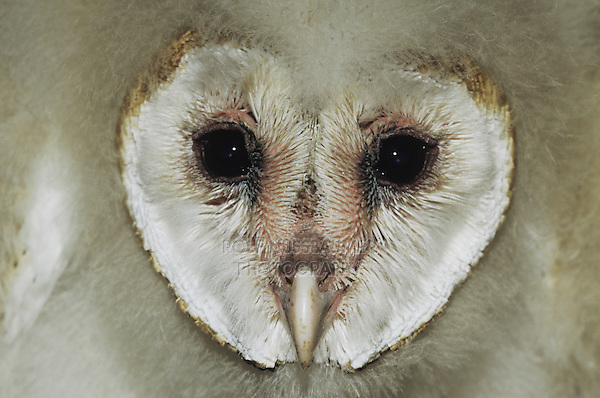 Barn Owl (Tyto alba),face of young, Starr County, Rio Grande Valley, Texas, USA