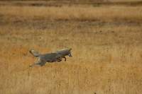 Airborne Coyote. Great anticipation! The tail goes straight out and jump :)
