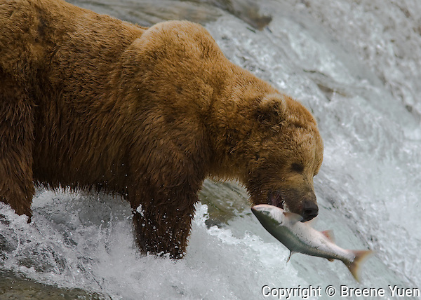 This adult male Grizzly Bear has got the prime fishing spot at Brooks Falls - with  salmon jumping straight into his jaws.  Katmai National Park, Alaska, Ju;y 2007