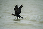 A Double-crested Cormorant,<br /> Phalacrocorax auritus, takes flight in the  Ria Lagartos Biosphere Reserve, a UNESCO World Biosphere Reserve in Yucatan, Mexico.