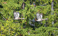A pair of Sandhill Cranes flies along the heavily-treed shore of the BC coast.