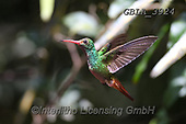 Bob, ANIMALS, REALISTISCHE TIERE, ANIMALES REALISTICOS, wildlife, photos+++++,GBLA3924,#a#, EVERYDAY ,hummingbaird,hummingbirds
