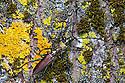 Mating pair of Musk Beetles {Aromia moschata}. Nordtirol, Austrian Alps, Austria, July.