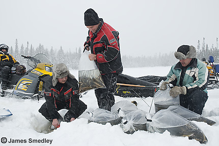 Lake or brook trout restocking project in a lake in winter in northern ontario