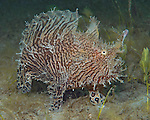 Striated Frogfish, Antennarius striatus, Blue Heron Bridge, Florida
