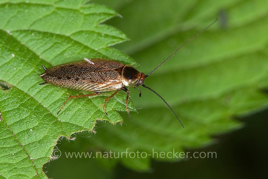 Waldschabe, Ectobius spp., ectobid cockroach, Waldschaben, Schaben, Blattoptera