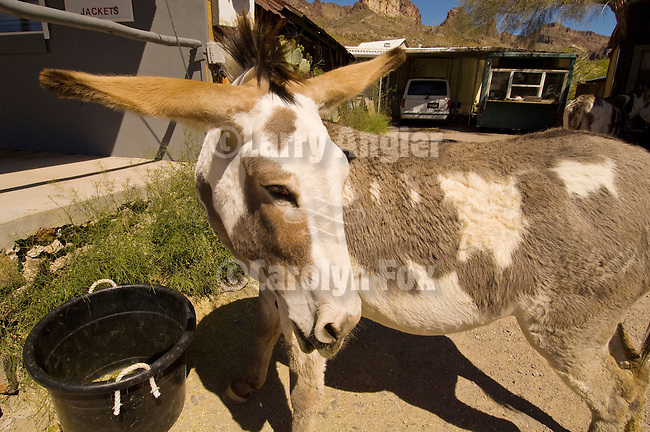 A pinto burro looks over her shoulder in downtown Oatman, Ariz.
