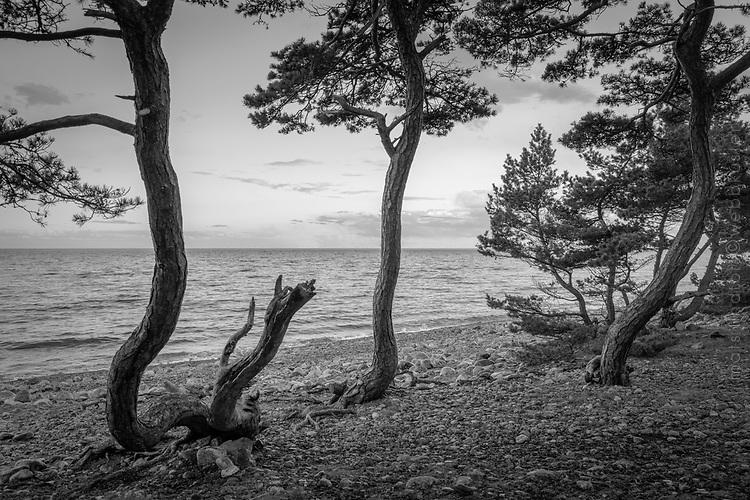 Vindpinade tallar vid en havsstrand på Torö i Stockholms skärgård i svartvitt