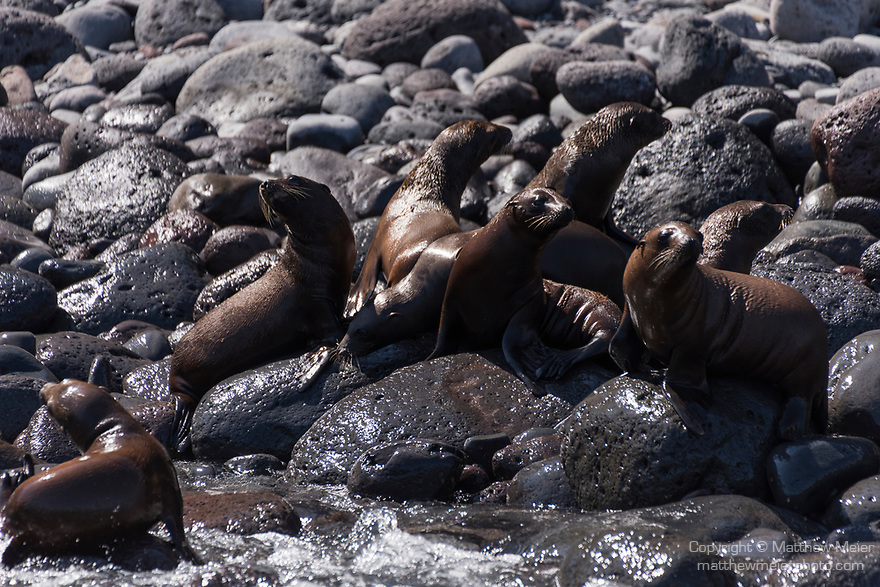 Guadalupe Island, Baja California, Mexico; several Guadalupe fur seal pups warming themselves on the rocks at the shoreline while adults supervise nearby