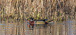 Drake wood duck swimming in a northern Wisconsin wetland.