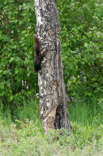 Abert's squirrel, Sciurus aberti, aspen, trunk, mammal, summer, June, morning, wildlife, nature, Rocky Mountain National Park, Colorado, USA