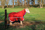 White horse in winter standing if field with red coat, Suffolk, England, UK