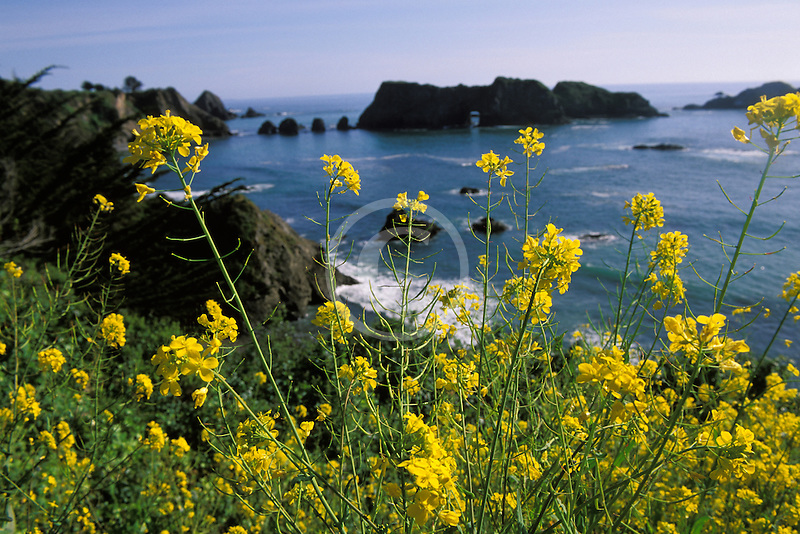 California, Mendocino County, Elk, Arch Rock and Spring mustard flowers