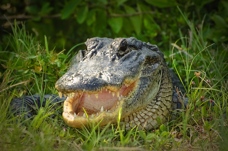 This cheerful alligator was photographed late this afternoon near the St. Marks River in North Florida. It was very photogenic, and even gave me a big smile and hiss before I clicked the shutter! :-)