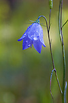 A Harebell wildflower wet with dew in a Montana National Forest
