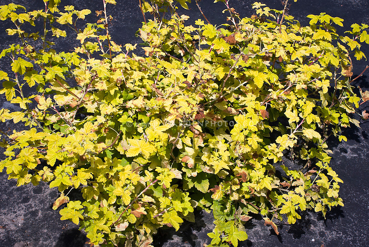 Ribes sanguineum brocklebankii ornamental currant bush with gold ribes sanguineum brocklebankii yellow gold foliage flowering currant shrub leaves and entire plant mightylinksfo