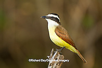 01246-00404 Great Kiskadee (Pitangus sulphuratus) hunting from perch Starr Co., TX