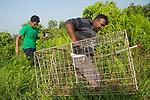 Fishing Cat (Prionailurus viverrinus) biologists, Maduranga Ranaweera and Anya Ratnayaka, carrying box trap used for collaring in urban wetland, Urban Fishing Cat Project, Diyasaru Park, Colombo, Sri Lanka