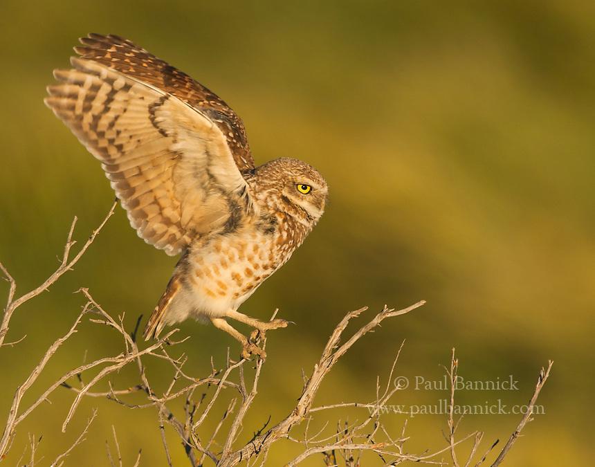 A Burrowing Owl balances atop an old sage brush.