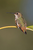 Allen's Hummingbird - Selasphorus sasin - Adult female