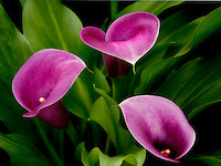 Close up of Calla Lily. Oregon