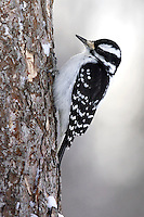 Hairy Woodpecker - Picoides villosus - female