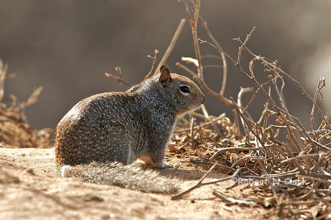Ground Squirrel on the bluff at Carlsbad State Beach campground