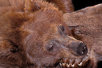 609659136 a captive wildlife rescue adult cinnamon phase black bear ursus americanus sleeps next to a log in its enclosure at a wildlife rescue facility