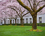 Olympia Washington,<br /> Yoshino Cherry Tree Grove along the John A. Cherberg building on the Washington State Capitol campus
