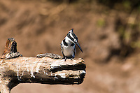 Pied KIngfisher female, Chobe NP, Botswana