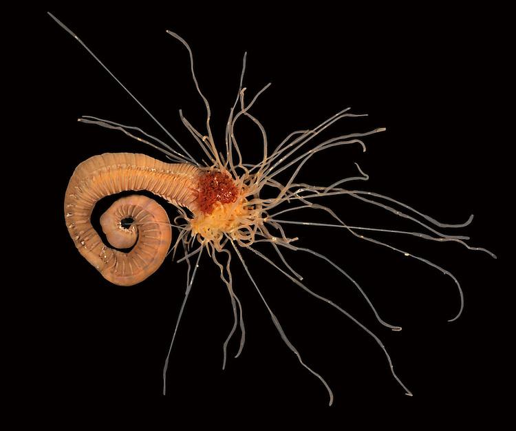 Neoamphitrite figulus