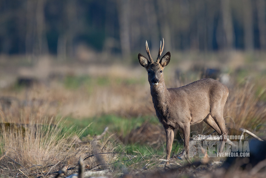 Roe Deer (Capreolus capreolus) in chopped forest, looking. National Park Salandse Heuvelrug, The Netherlands.