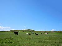 Rinder und Schafe, Oberland, Insel Helgoland, Schleswig-Holstein, Deutschland, Europa<br /> Cattle and sheep, Oberland, Helgoland island, district Pinneberg, Schleswig-Holstein, Germany, Europe