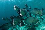 Huge schooling bumphead parrotfish (Bolbometopon muricatum)