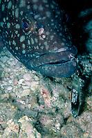 grouper, Epinephelus quernus, with fishing hook, Midway Atoll, Papahanaumokuakea Marine National Monumen, Northwestern Hawaiian Islands, or Leeward Islands, Hawaii, USA, Pacific Ocean