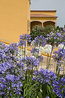 Purple Agapanthus flowers with the yellow walls of the hotel Can Bonastre in the background
