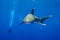 oceanic whitetip shark, Carcharhinus longimanus, with scuba divers, Cat Island, Bahamas, Caribbean Sea, Atlantic Ocean